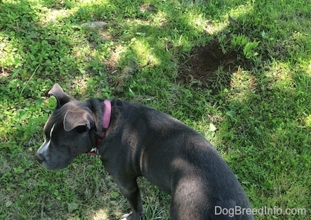 Top down view of a blue nose American Bully Pit is standing in grass and looking to the left. There is a hole in the ground in front of her.