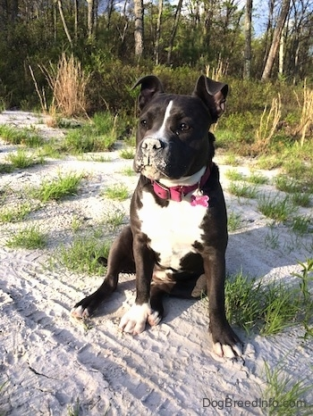 A blue nose American Bully Pit is sitting in sand and she has sand all over her mouth and nose.