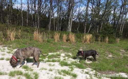 A blue nose Pit Bull Terrier is sniffing sand and there is a blue nose American Bully Pit walking behind him.