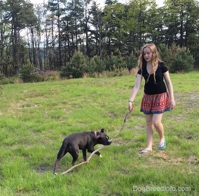 A girl in a black shirt is holding the end of a stick. The stick is also in the mouth of a blue nose American Bully Pit.