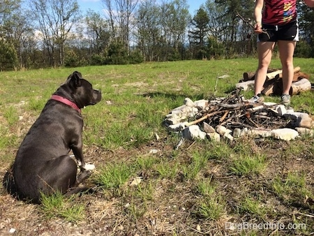 A blue nose American Bully Pit is sitting in grass and looking at a bundle of sticks that are inside of a fire pit made out of sand stone rocks.