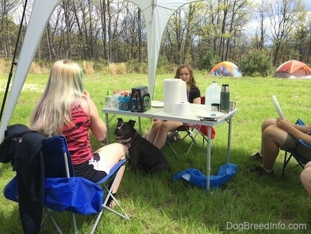 Four people are sitting around at tent at a table. Under the table is a blue nose American Bully Pit. She has her mouth open and tongue out. It looks like she is smiling.