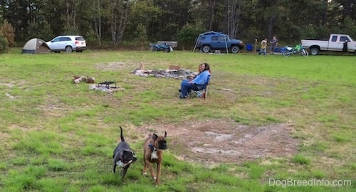 A blue nose American Bully Pit has a bone in her mouth and she is running across a field with a brown with black and white Boxer. There are people sitting in lawn chairs in the middle of the field. In the background there is a line of cars, tents and 4x4s.