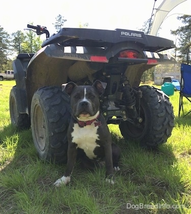A blue nose American Bully Pit is sitting in grass and behind her is a Polaris 4x4.