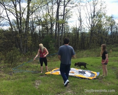 A man and two girls are standing in a grassy area and setting up a tent. Walking behind the downed tent is a blue nose American Bully Pit