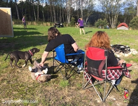 A man in a blue lawn chair is rubbing the stomach of a blue nose Pit Bull Terrier. There is a blue nose American Bully Pit walking over to the man in the chair. There is a lady in a red lawn chair next to them. In the background there are people playing frisbee and tents set up.