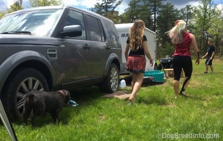 A blue nose American Bully Pit has an empty bottle in her mouth and is following behind two girls.