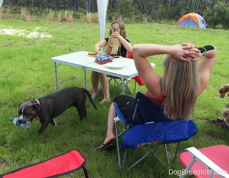 A blue nose American Bully Pit is standing in grass and she has an empty water bottle in her mouth. There is a lady making a sandwich at a table behind the dog. Next to her is a girl with her hands on her head sitting in a lawn chair.