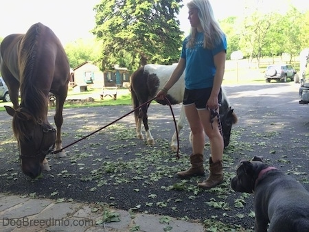 A blonde haired girl is holding the reins of a brown with white Horse. The Horse is eating clumps of grass on a black top surface. There is a brown and white paint pony behind her and a blue nose American Bully is looking at them.