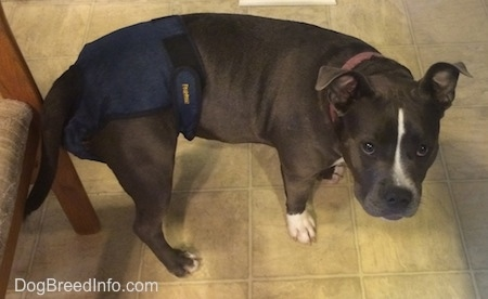 A blue nose American Bully Pit is standing on a tiled floor in a blue diaper and she is looking up.