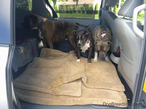 Three dogs are in the middle of a mini van and they are sitting on a dog bed. In front of them there is a pile of throw up.