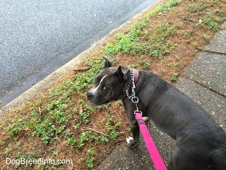 A blue nose American Bully Pit is standing on a sidewalk and she is looking to the left. Her mouth is open and it looks like she is smiling.