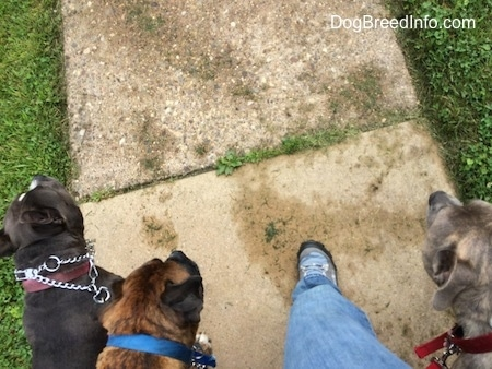 Top down view of three dogs being taken on a walk.
