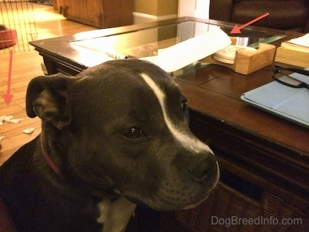 A blue nose American Bully Pit is sitting next to a coffee table. There are red arrows pointing to a paper towel on a table and paper towel pieces behind her.
