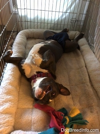 A blue nose American Bully Pit is wearing a diaper and she is laying on her back belly-up in a dog crate.