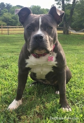 A wide-chested, big-headed, blue nose American Bully Pit is sitting in grass and looking forward.