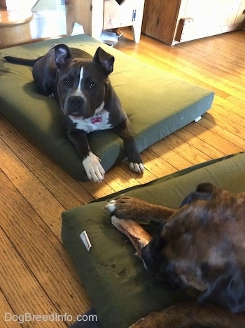 A blue nose American Bully Pit is laying on a green orthopedic dog bed pillow across from a brown with black and white Boxer who is chewing on a dog bone.