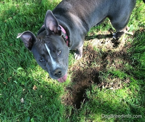 Top down view of a blue nose American Bully Pit that is standing next to a freshly dug hole. She is happily looking up.