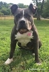 Close up - A blue nose American Bully Pit is sitting in grass and she is looking forward. There is a large tree and a wooden fence in the background.