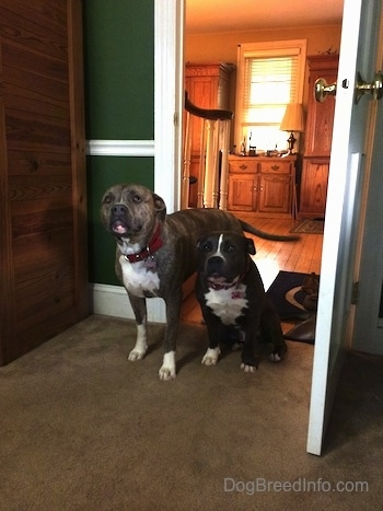 A blue nose Pit Bull Terrier is standing next to a sitting blue nose American Bully Pit in a door way from a living room to a family room. The room has green walls.