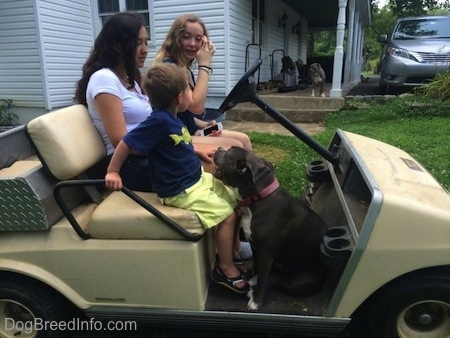 Two girls and a boy are sitting in a golf cart. A blue nose American Bully Pit is sitting in the cart and looking up.