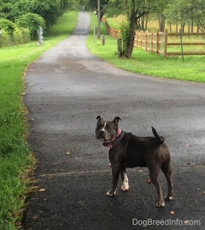 A blue nose American Bully Pit is standing in a long driveway and she is looking back.