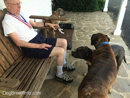 A man is sitting in a wooden porch swing and standing in front of him is a blue nose American Bully Pit and standing over top of her is a brown with black and white boxer. There is a third dog sitting against the house to the right of the man.
