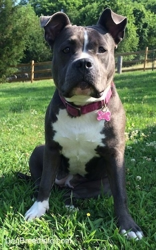 A big-headed, wide-chested, blue nose American Bully Pit is sitting in grass and she is lookinh forward. There is a pink bone ID tag hanging from her pink collar.