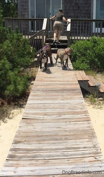 A lady is climbing up a set of wooden stairs to close a deck gate and behind her is a brown brindle Boxer, a blue nose American Bully Pit and a blue nose Pit Bull Terrier they are standing on a wooden deck walkway.