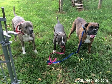 A blue nose Pit Bull Terrier, a blue nose American Bully Pit and a brown with white and black boxer are standing in grass in front of an open gate looking forward.