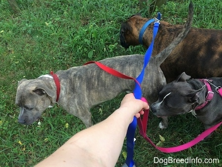 A blue nose Pit Bull Terrier, a blue nose American Bully Pit and a brown brindle Boxer are standing in grass. There is a persons hand holding the leashes.