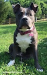 Close up - A blue nose American Bully Pit is sitting in grass and looking forward. She is sitting under the shade of a tree.
