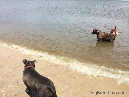 A brown brindle Boxer is standing in a body of water as a wave is coming in. There is a person kneeling behind him. There is a blue nose American Bully Pit standing on sand looking at the Boxer.