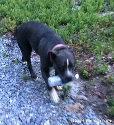 A blue nose American Bully Pit has a water bottle in her mouth and she is walking down a rocky path.