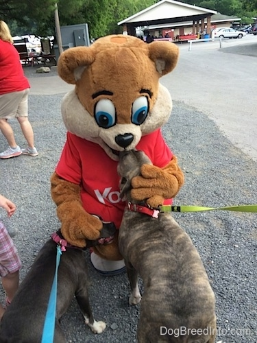 Kozmo the Knoebels Mascot is kneeling in front of a blue nose American Bully Pit and a blue nose Pit Bull Terrier.