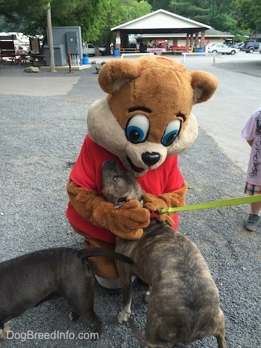 A blue nose American Bully Pit is standing on gravel and he is being pet by Kozmo the Knoebels Mascot.
