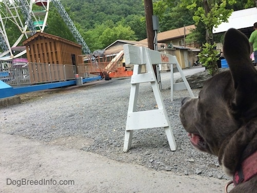 A blue nose American Bully Pit is sitting on a walkway and she is looking up.