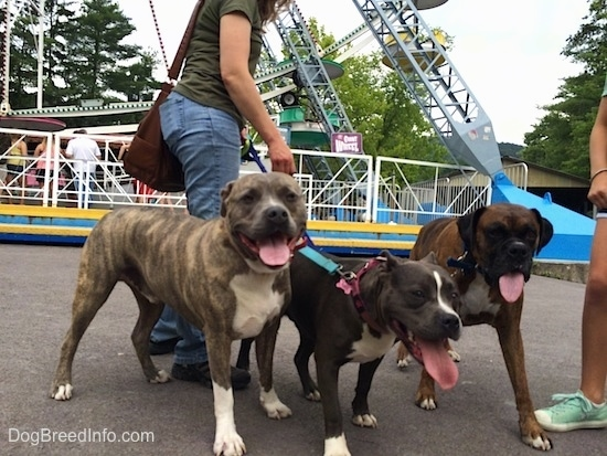 A blue nose American Bully Pit, a brown brindle Boxer and a blue nose Pit Bull Terrier are standing on a concrete surface. All of the dogs are panting.