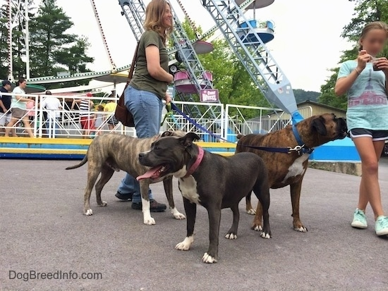 A blue nose American Bully Pit is looking to the left and behind her, a blue nose Pit Bull Terier and a brown brindle Boxer are looking over at a child eating a snack.