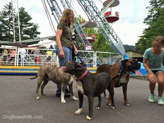A blue nose American Bully Pit is looking up and back at a Ferris Wheel behind them. A blue nose Pit Bull Terrier and a brown brindle Boxer are looking over at a kneeling child.
