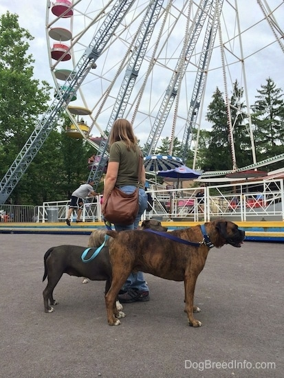 A blue nose American Bully Pit, a blue nose Pit Bull Terrier and a brown brindle Boxer are standing on concrete and looking to the right. A lady in a green shirt is looking over at the ferris wheel.