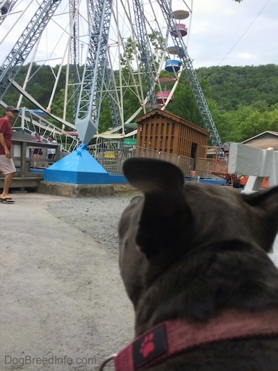 The back of a blue nose American Bully Pits head who is looking at a ferris wheel.