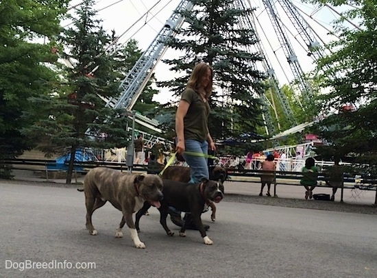 A blue nose American Bully Pit, a brown brindle Boxer and a blue nose Pit Bull Terrier are being walked in front of a ferris wheel.