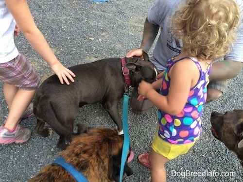 A blue nose American Bully Pit is being surrounded by people petting her.