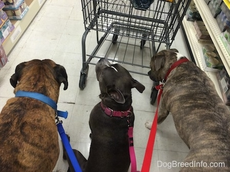 A blue nose Pit Bull Terrier, a blue nose American Bully Pit and a brown brindle Boxer are walking behind a cart through a store.