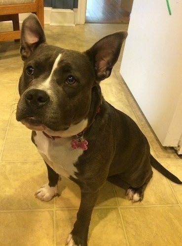 A blue nose American Bully Pit is sitting on a tiled floor and she is looking forward.