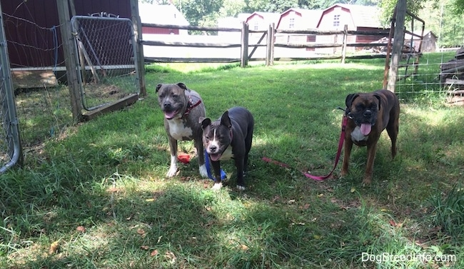 A blue nose Pit Bull Terrier, A blue nose American Bully Pit and a brown with black and white Boxer are standing in grass and they are all looking forward in front of an open gate. There mouths are open and tongues are out.