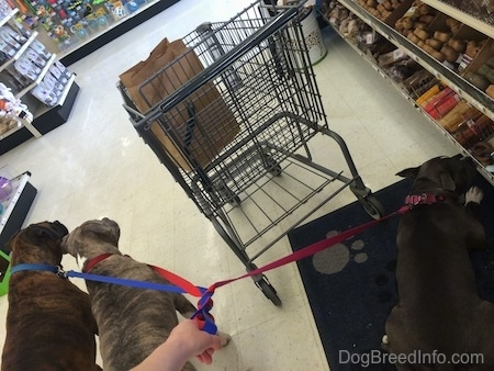 A blue nose American Bully Pit and a brown with black and white Boxer are standing in a pet store and waiting. Across from them a blue nose American Bully Pit is laying on a paw print mat and she is licking a dog bone on a shelf. There is a shopping cart in front of her.