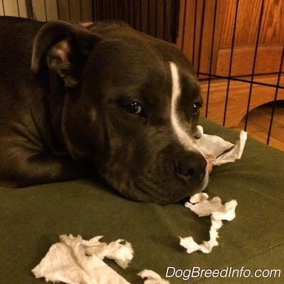 Close up - A blue nose American Bully Pit is laying on a green orthopedic dog bed pillow and there is chewed up paper towel pieces around her.