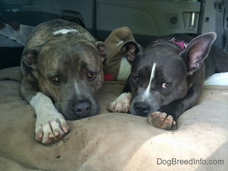 A blue nose Pit Bull Terrier and a blue nose American Bully Pit are laying on a dog bed in the middle section of a mini van that has the seats removed and looking forward. The Bully has one ear up and one ear down.